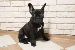 The best French bulldog puppies from Ukraine