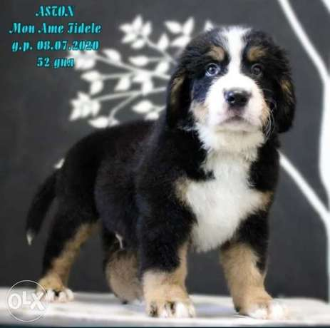 mountain Bernese puppies imported from Ukraine