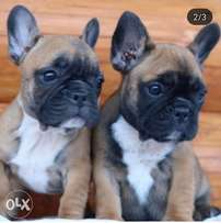 French bulldog puppies, imported, top quality with Pedigree