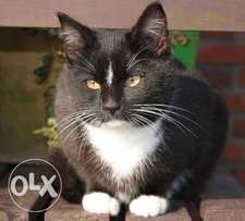Lost: Black Cat with white Underside