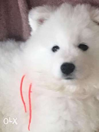 Reserve ur imported samoyed puppy with all documents