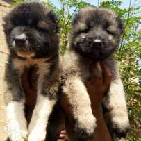 Full breed caucasian puppies are now available for sale.