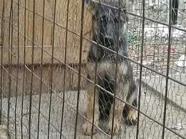 Pure sable Gsd puppies 2mnth...