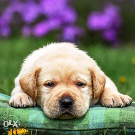 Imported Labrador puppies with pedigree and microchip