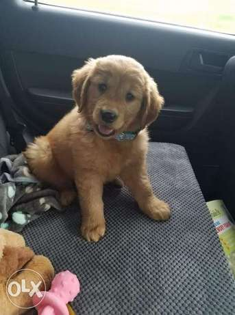 Golden Retriever Bear Face Imported From Europe