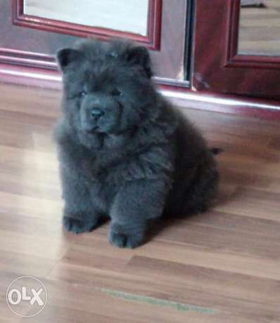 Amazing chow chow blue puppies imported from Ukraine with Pedigree