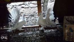 fantail white pigeons