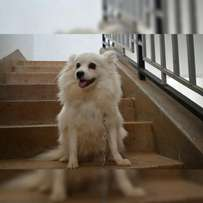 White female japanese spitz