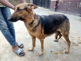 Adult female Gsd for sale