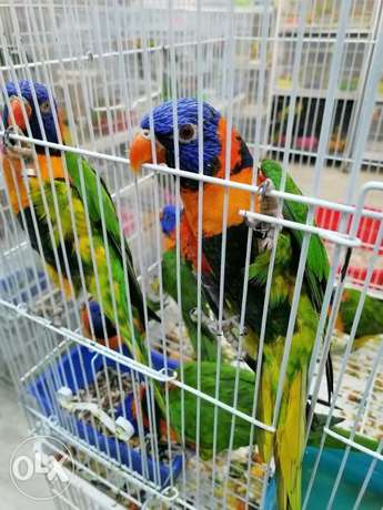 lory bird male female for sale155