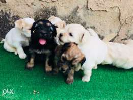 Very pretty Lhasa apso for sale