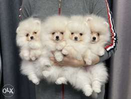 """Mini pomeranian Puppies Ready for reservation """" Imported"""""""
