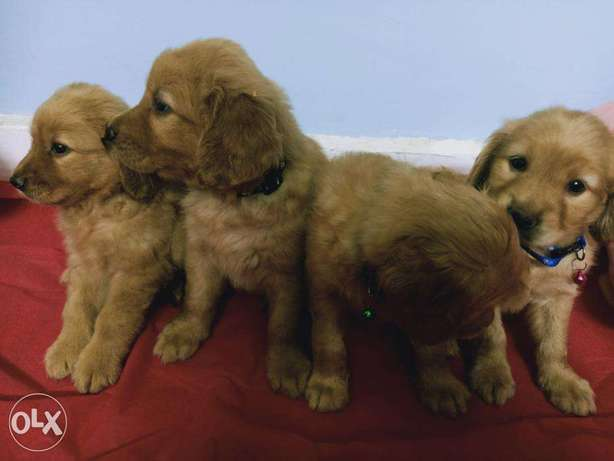 Teddy chocolate pure golden retriever 38 day Fully vaccinated & Deworm