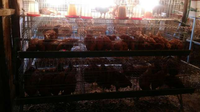 Chicks cages available at homestead farm Kasarani - image 3