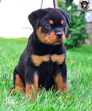 Rottweiler Puppies High Quality Imported With Passport, Microchip