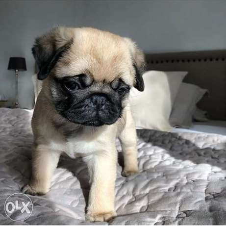 Browny pug puppy's for sale