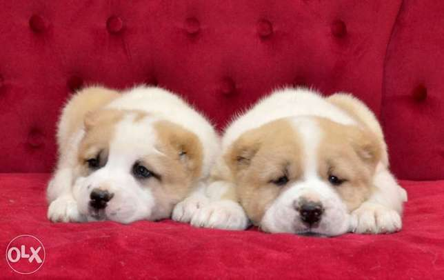 Alabai puppies, with all documents