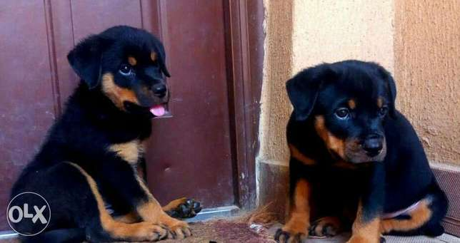 Super healthy box head rottweiler puppies for sale Ibadan South East - image 1