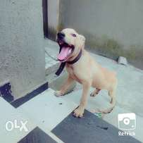 5 month rotwailer for sale