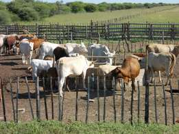 Brahman Cattle Heifers, Cows Nguni available for Sale