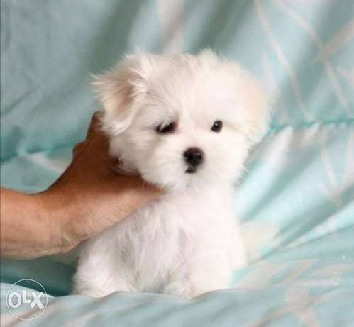 Get urself the best imported mini maltese puppy with Pedigree