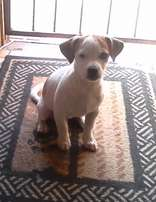 Small pup cross jackrussel x chiwawa male for sale