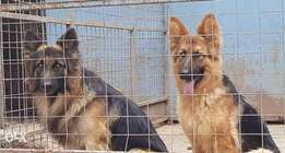 Long coat German Shephard puppies