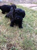 Two male french toy poodles for sale pure bred