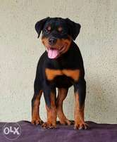 3 and half months old female Rott puppy.