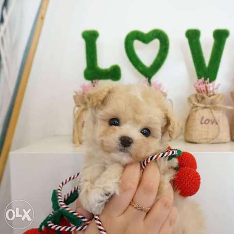 Teacup poodle puppy available