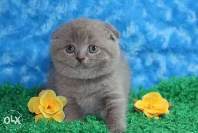 Premium quality scottish fold kittens with all documents