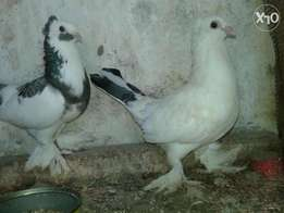 White Matured shungi flea pigeon for sale