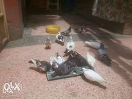 Pure breeds Rock Doves.