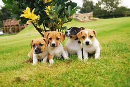 jack russel pups for sale