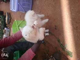 Pomeranian puppies pure breed