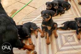 Rotweiler Pure Breed Puppies