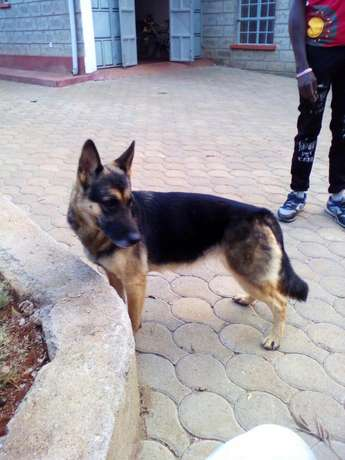 German shepherd dog Kahawa sukari - image 1