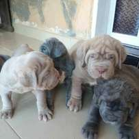 Pure Neapolitan mastiff pups available for sale