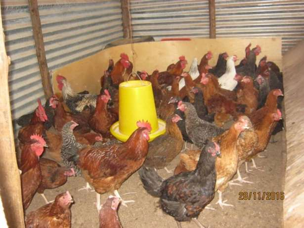 Chickens For Sale Ongata Rongai - image 3