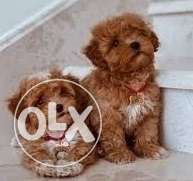 Beautiful toy Maltipoo puppies