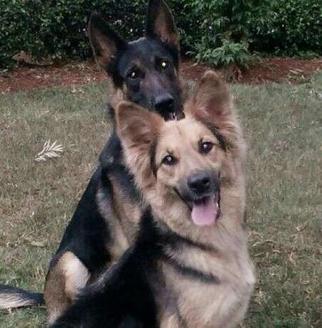 10000 ksh German Shepherd puppy Nyari - image 8