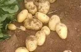 Factory Price Fresh Organic Holland potatoes for sale