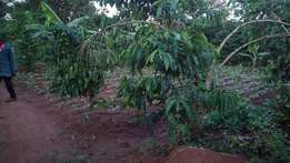 Sure deal for you coffee trees on quick sale for the farmers