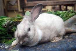 Rabbits are available for sale