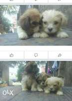 Lassa puppies 7 weeks old for sale