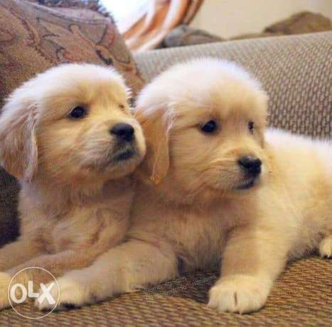 Cutest Golden You Cant resist