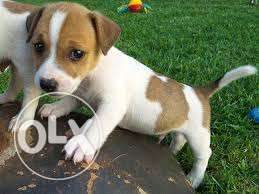 gorgeous thoroughbred minature pedigree jack Russell puppies