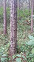 7 acres of land full of pine nearly ready to be cut in bombo kalule