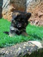 German Shepherd puppies long coat pure breed