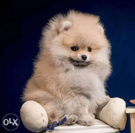 BEST imported Pomeranian puppies